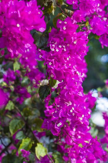 Sint Eustatius. Oranjestad, Bougainvillea flowers-Walter Bibikow-Photographic Print