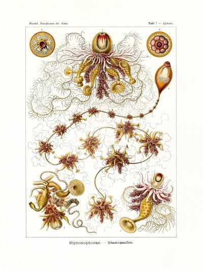 Siphonophorae, 1899-1904--Giclee Print