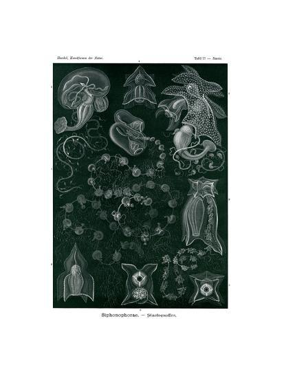 Siphonophorae, 1899-1904--Giclee Print