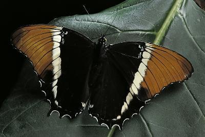 Siproeta Epaphus (Rusty-Tipped Page, Brown Siproeta) - Female-Paul Starosta-Photographic Print