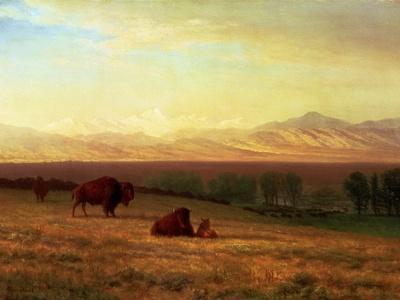 Buffalo on the Plains, Circa 1890