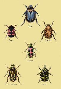 Beetles of Cape, America, Manilla, N. Holland and Brazil by Sir William Jardine