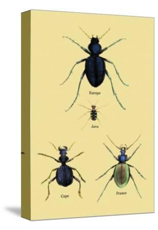 Beetles of Java, France, Cape and Europe
