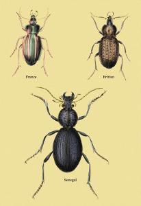Beetles of Senegal, Britain and France by Sir William Jardine