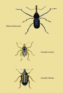 Beetles: Rhina Barbirostris, Curculio Cuvieru and C. Vittatus by Sir William Jardine
