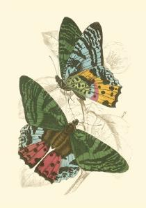 Butterflies III by Sir William Jardine