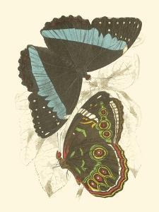 Butterflies VI by Sir William Jardine