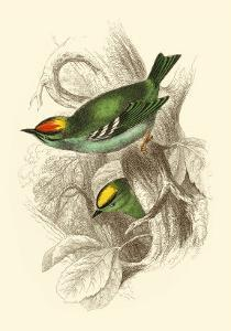 Fire-Crowned and Common Goldcrest by Sir William Jardine