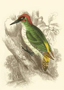 Green Woodpecker by Sir William Jardine