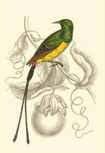 Jardine Hummingbird I by Sir William Jardine