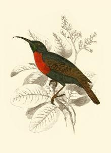 Jardine Hummingbird III by Sir William Jardine