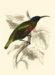 Jardine Hummingbird IV by Sir William Jardine