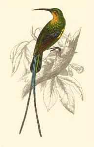 Jardine Hummingbird V by Sir William Jardine