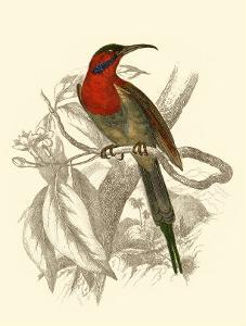 Jardine Hummingbird VI by Sir William Jardine