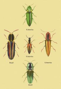 South American Beetles by Sir William Jardine