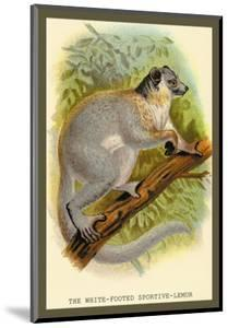 The White-Footed Sportive Lemur by Sir William Jardine