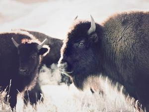 Bison by Sisi and Seb