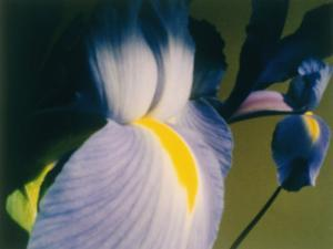 A Close-up of an Iris by Sisse Brimberg