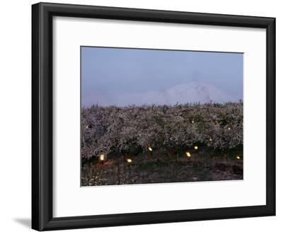 A Fruit Orchard with Smudge Fires at Twilight