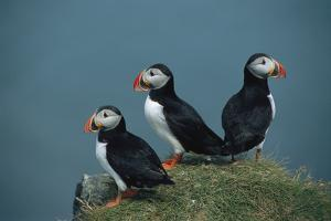 A Trio of Atlantic Puffins Perch on a Grass Covered Cliff by Sisse Brimberg