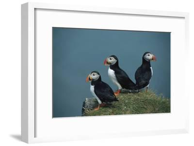 A Trio of Atlantic Puffins Perch on a Grass Covered Cliff
