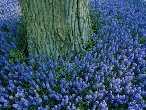 Lavender Muscari in the Keukenhof Flower Park by Sisse Brimberg