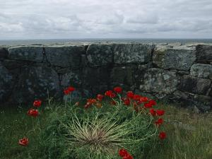 Poppies Growing by a Lichen-Covered Seawall, Denmark by Sisse Brimberg