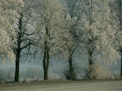 Tree Branches Have a Coating of Frost