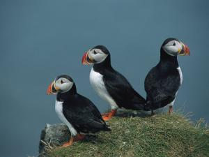 Trio of Atlantic Puffins Perch on a Grass-Covered Cliff by Sisse Brimberg