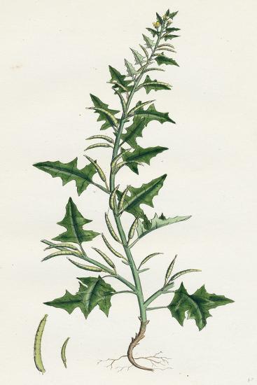 Sisymbrium Polyceratium Prostate Hedge-Mustard--Giclee Print
