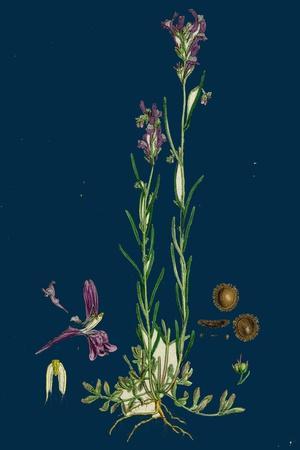 https://imgc.artprintimages.com/img/print/sisymbrium-sophia-flix-weed_u-l-pvfw2g0.jpg?p=0