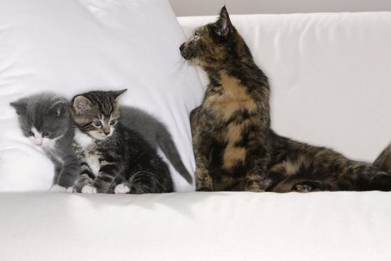 Sits Couch, Cats, Young, Curiously, Dam, Lying, Alertly, Animals, Mammals, Pets-Nikky-Photographic Print