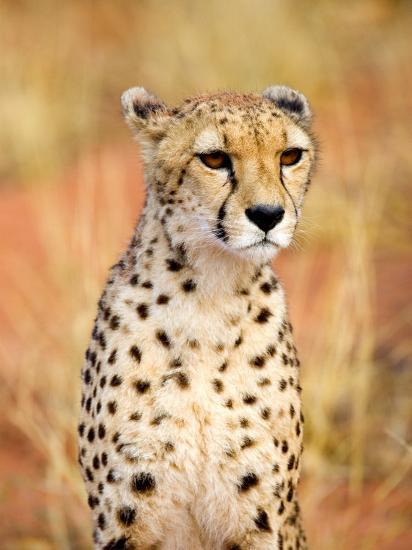 Sitting Cheetah at Africa Project, Namibia-Joe Restuccia III-Photographic Print