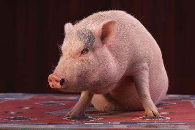 Sitting Pot-Bellied Pig-DLILLC-Photographic Print