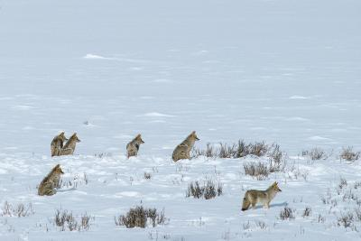 Six Adult Coyotes Hunt Cooperatively in Winter Near the Lamar River-Tom Murphy-Photographic Print