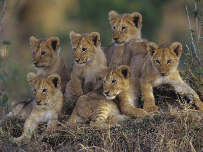 Six African Lion Cubs, Panthera Leo, Watching and Waiting for Mom to Return, Kenya-Joe McDonald-Photographic Print