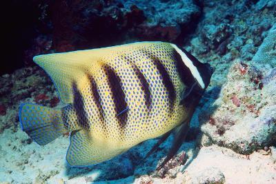 Six-banded Angelfish-Georgette Douwma-Photographic Print