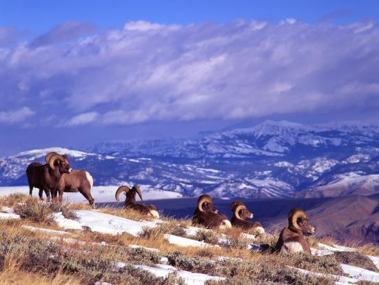 Six Bighorn Rams, Whiskey Mountain, Wyoming, USA-Howie Garber-Photographic Print