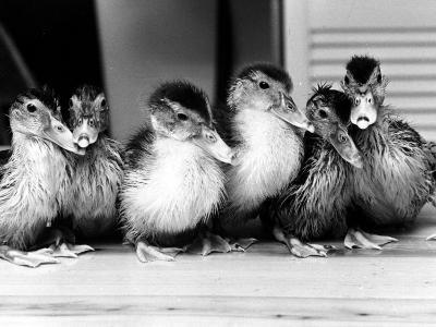 Six Ducklings Who were Abandoned by Their Mother, Being Given Swimming Lessons, July 1977--Photographic Print