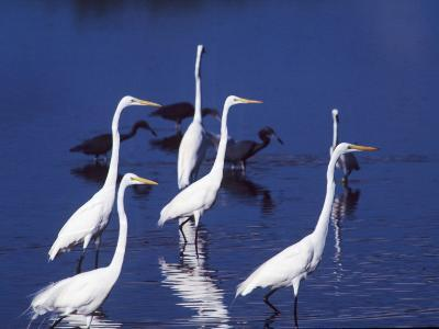 Six Great Egrets Fishing with Tri-colored Herons, Ding Darling NWR, Sanibel Island, Florida, USA-Charles Sleicher-Photographic Print