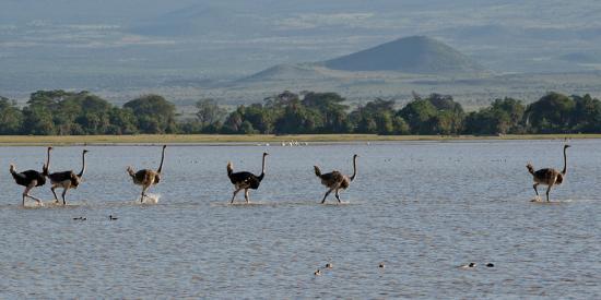 Six Ostriches Amboseli-Charles Bowman-Photographic Print