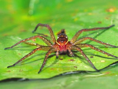 Six Spotted Fishing Spider Feeding on Fly, Pennsylvania, USA-David Northcott-Photographic Print