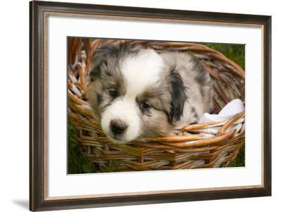 Six-Week-Old Blue Merril Australian Shepherd Puppy Curled Up in a Wicker Basket-Cynthia Classen-Framed Photographic Print