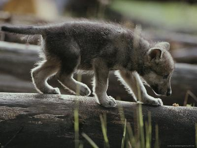 Six-Week-Old Gray Wolf Pup, Canis Lupus, Walks on a Fallen Log-Jim And Jamie Dutcher-Photographic Print