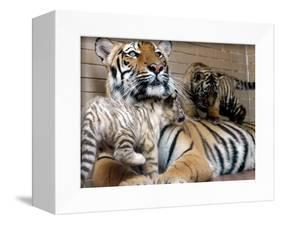 Six-Year-Old Bengal Tigress Rosi-null-Framed Premier Image Canvas