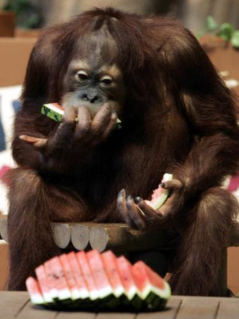 Six-Year-Old Male Orangutan Allan Eats a Piece of Watermelon at the Everland Amusement Park
