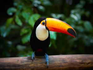 Toucan on the Branch in Tropical Forest of Brazil by SJ Travel Photo and Video