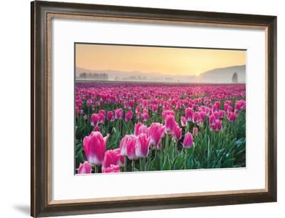 Skagit Valley Tulips I-Alan Majchrowicz-Framed Art Print