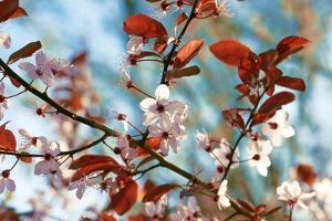 Cherry Plum Flowers in Spring by Skaya