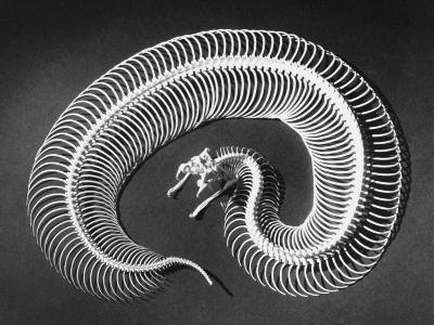 Skeleton of a 4-Foot-Long Gaboon Viper, Showing 160 Pairs of Movable Ribs-Andreas Feininger-Photographic Print